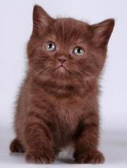 котенок шотландский вислоухий