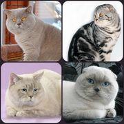 Вязка! Шотландский вислоухий кот  приглашает кошечек