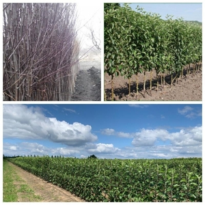 Саженцы деревьев из питомника на Весну-2021