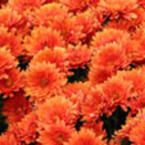 шары хризантем и саженцы ремантантной малины