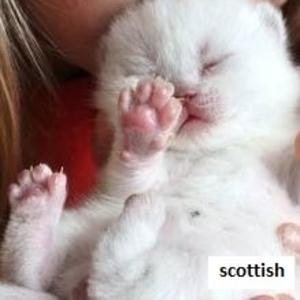 шотландские котята вислоухие,  хайленд,  страйт