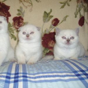 Эксклюзивные шотландские плюшевые вислоухие и прямоухие  котята