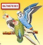 Куплю Волнистых попугаев оптом. Дорого