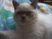 Вязка с шотландским прямоухим котом