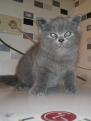 Британские вислоухие котята (девочки)