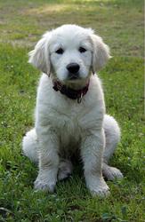 Продам щеночков золотистого ретривера