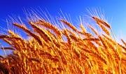 Куплю пшеницу ячмень кукурузу подсолнечник рапс